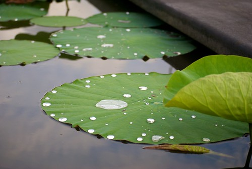 Water Droplets on a lily pad