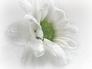 ~ White Beauty ~