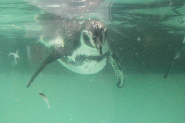Photo:OTARU Aquarium - Penguin. By MIKI Yoshihito. (#mikiyoshihito)