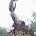 Small photo of London Zoo: Abdim's Stork