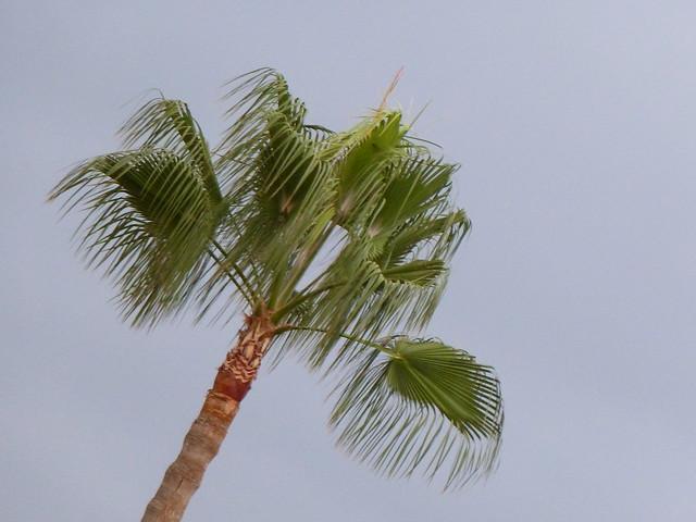 palmera