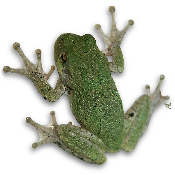 Tree Frog Flickr Photo Sharing