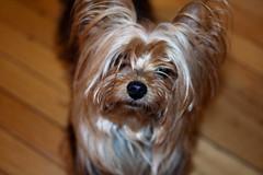 schnoodle(0.0), cairn terrier(0.0), australian terrier(0.0), dog breed(1.0), animal(1.0), puppy(1.0), dog(1.0), pet(1.0), australian silky terrier(1.0), norfolk terrier(1.0), biewer terrier(1.0), morkie(1.0), close-up(1.0), carnivoran(1.0), yorkshire terrier(1.0), terrier(1.0),