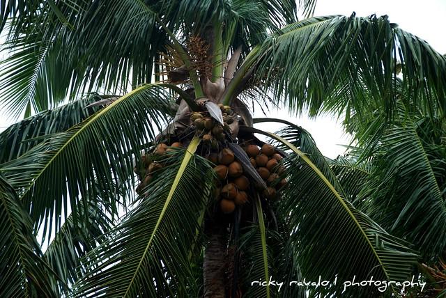 Luya Farming: Paano Magtanim Ng Luya?
