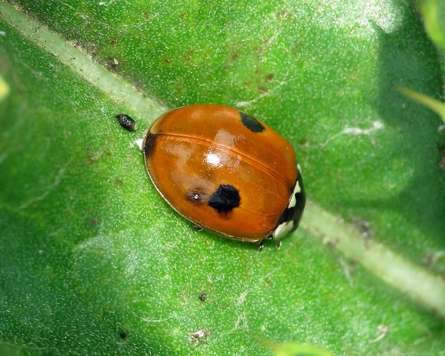 2 Spot Ladybird - Adalia bipunctata