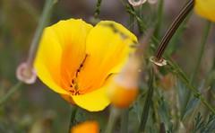 eschscholzia californica, flower, yellow, macro photography, wildflower, flora, meadow, plant stem, petal, poppy,