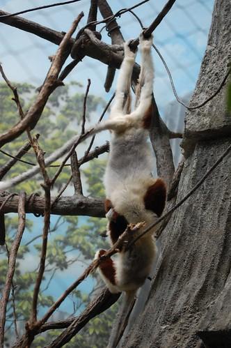 Lemurs - Bronx Zoo