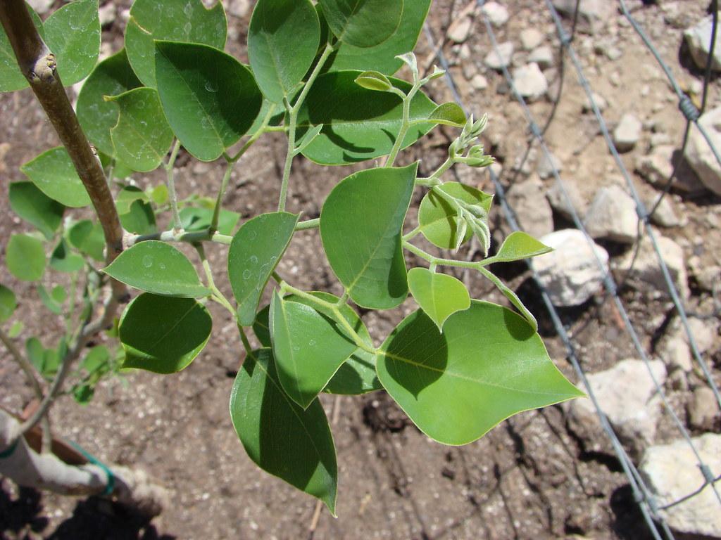 20100629 Sisu Sissoo Indian Rosewood Leaves Tucson Tree Flickr