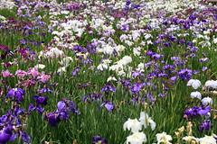 Japanese water iris / Iris ensata var. ensata / 花菖蒲(ハナショウブ)