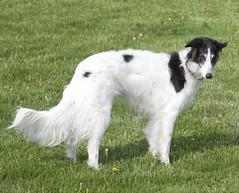 dog sports, dog breed, animal, silken windhound, dog, pet, longhaired whippet, carnivoran, borzoi,