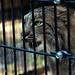 Very Pissed-Off Lynx. by Gossamer1013