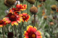 gaillardia, annual plant, flower, plant, wildflower, flora, petal,