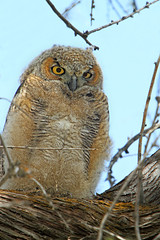 Great Horned Owlet (Bubo virginianus) ....3 of 3