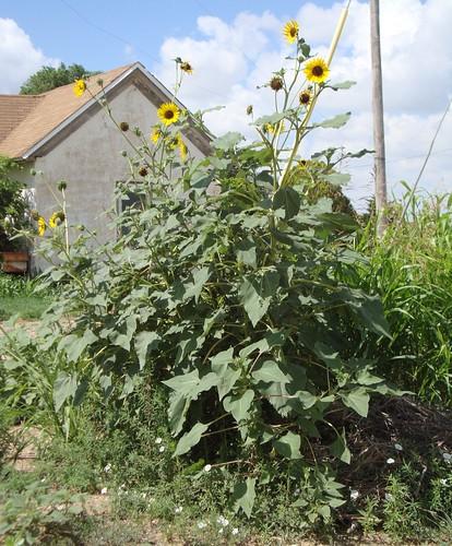oklahoma beavercounty balko bryanscorner oklahomapanhandle ok ushighway83 sunflowers northamerica unitedstates us