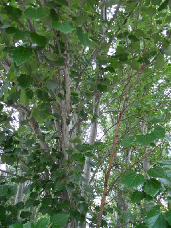 Populus alba 'Pyramidalis' v 3