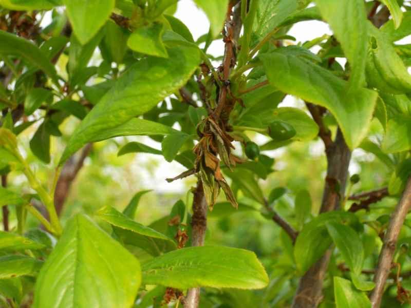Prunus domestica 'Friar'  2