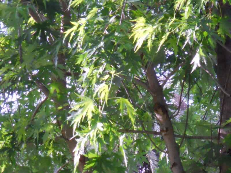 Acer saccharinum hoja 2