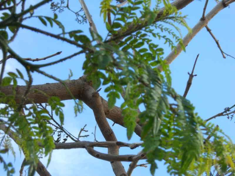 Jacaranda mimosifolia.. hojas 3
