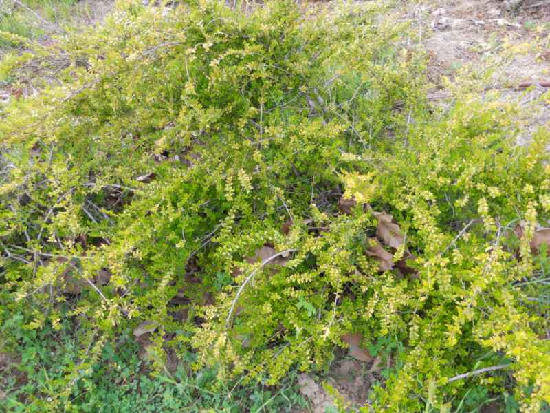 Cotoneaster praecox 1