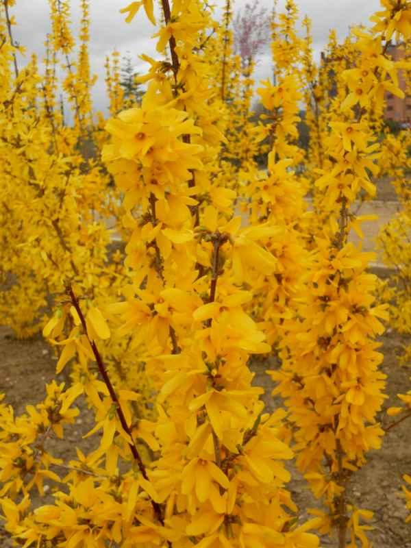 Forsythia viridissima flor v 1