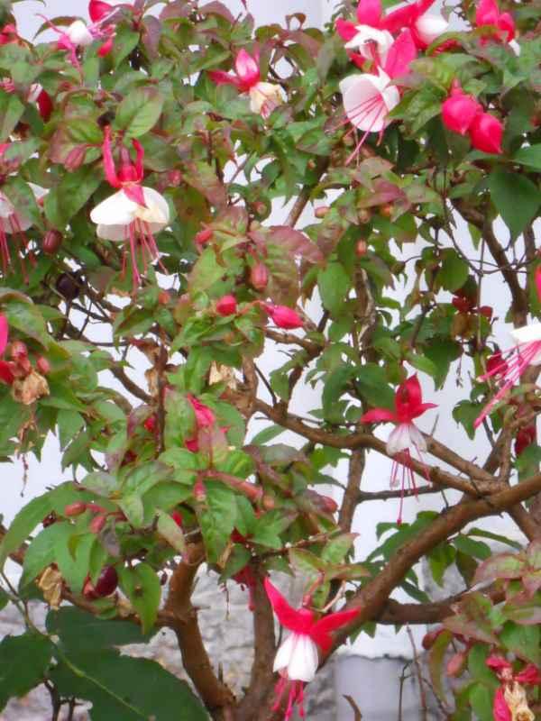 Fuchsia spp. v 1