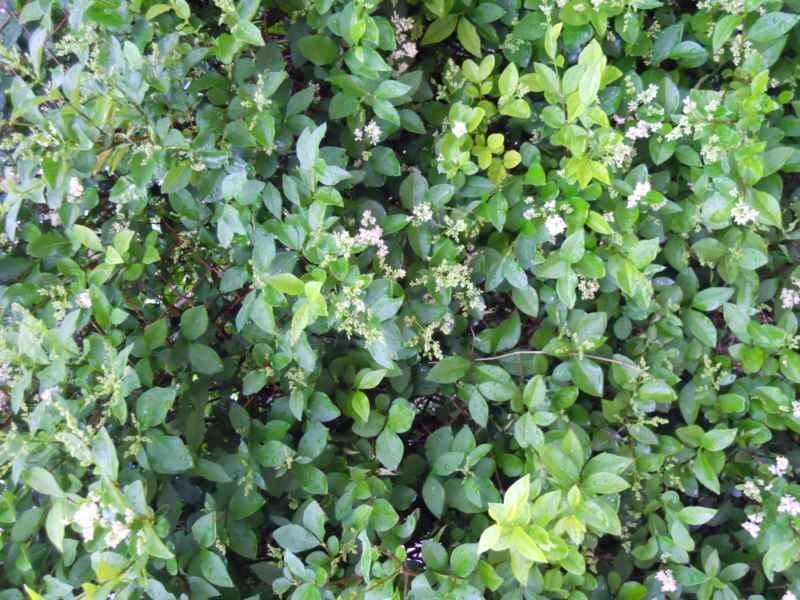 Ligustrum spp. 3