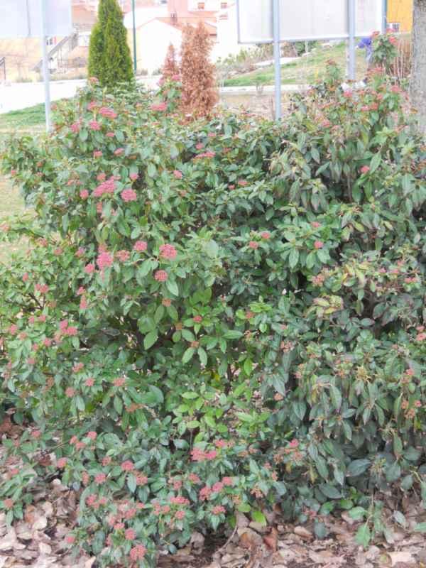 Viburnum tinus 'Eve Price' v 2