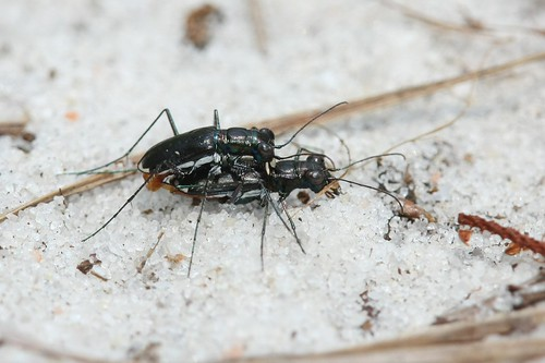 Eastern Pinebarrens Tiger Beetle - Cincindela abdominalis - Horry County, South Carolina, USA - June 14, 2010