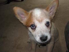 dog breed, animal, puppy, dog, carolina dog, pet, carnivoran,