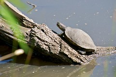 Turtle in Spring Valley Pond