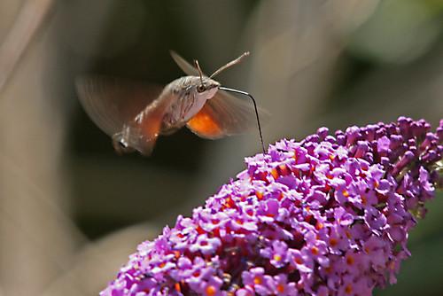 Hummingbird Hawk Moth 3 explored