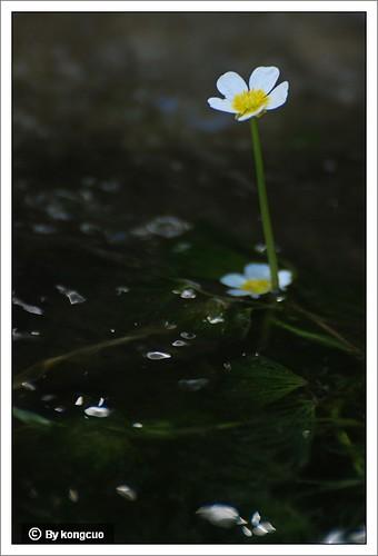 【图】水毛茛