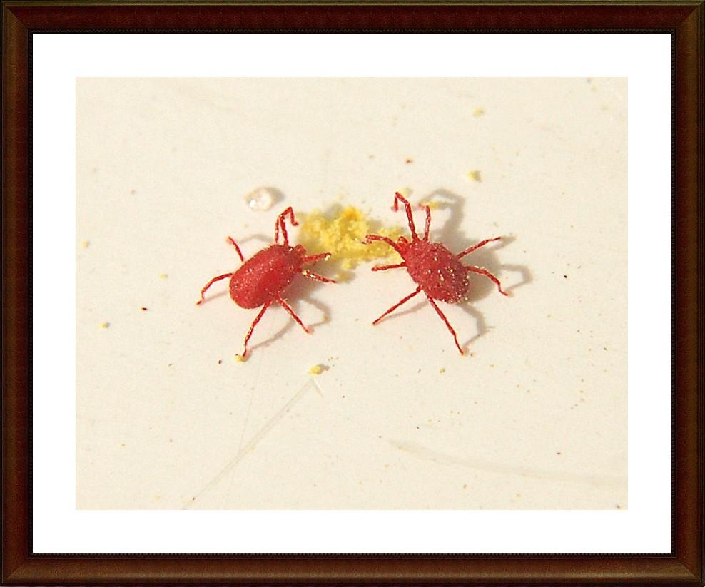 Clover Mites