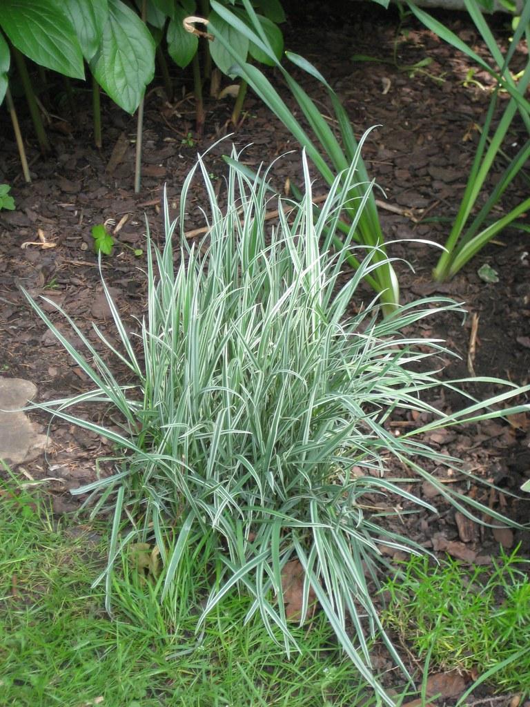 Ornamental grasses shade grasses shade bow hunting for Best ornamental grasses for shade