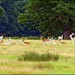 Deer at Attingham, Atcham, Shropshire,GB.