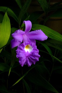 Sobralia rogersiana species orchid, new to the collection 7-10*
