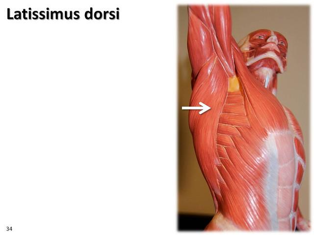 Latissimus dorsi anatomy