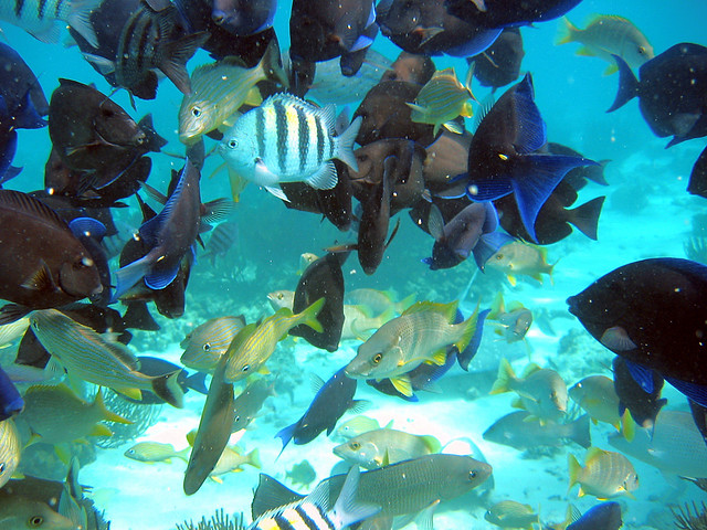 Feeding frenzy, Grand Cayman