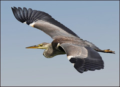 Heron on the wing 2