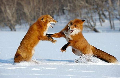 Foxes fighting ‹èñû âûßñíßþò îòíîøåíèß