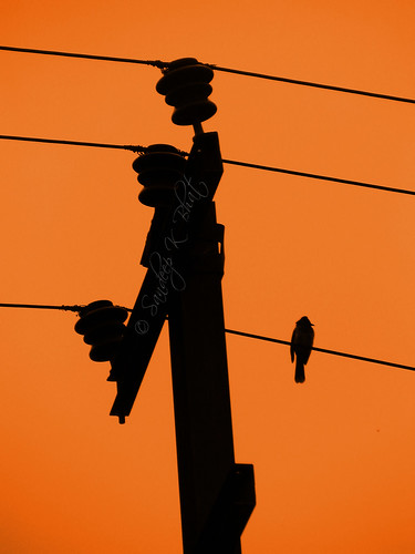 sunset shadow orange black bird silhouette electric birdie dusk small pole current canons1is