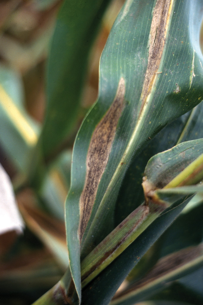 Turcicum leaf blight on maize