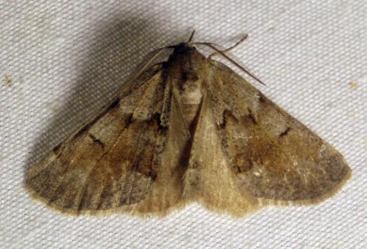 Adalbertia castiliaria 4893073112_54a746930a_o