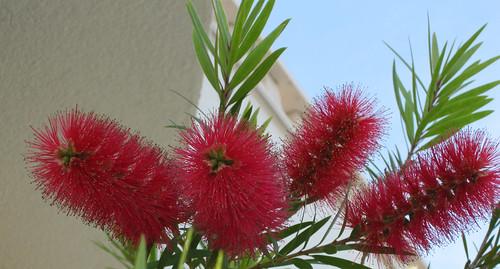 Kukka Dalmatiasta
