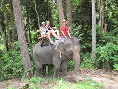 indian elephant, elephant, elephants and mammoths, fauna, mahout, jungle, safari, wildlife,