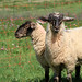 Sheep (wooled)