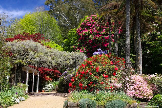 Nooroo in Spring - Mt Wilson, Blue Mountains, NSW, Australia