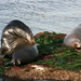 Sea Lion and Seal sun bathing near La Jolla