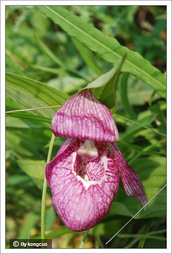 68.兰科杓兰属大花杓兰(大口袋花)1