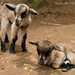 Young goats by Ari V